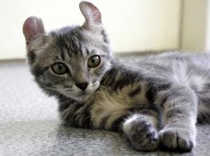 猫の種類 アメリカンカール