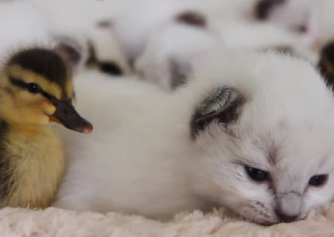 ヤバい可愛い子猫の画像☆猫画像32選!!