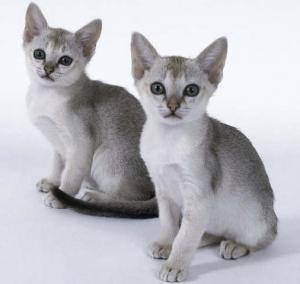 猫の種類 シンガプーラ