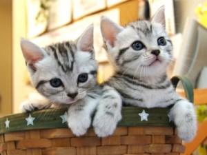 猫の種類 アメリカンショートヘアー