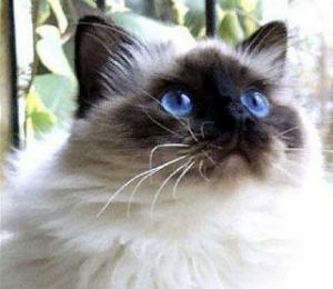猫の種類 ヒマラヤン