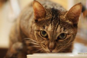 猫の種類 キジトラ