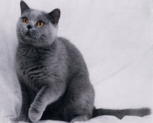 猫の種類 ロシアンブルー