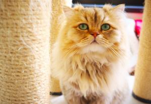 猫の種類 チンチラ猫
