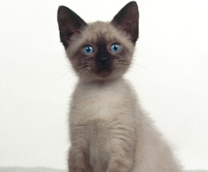 猫の種類 シャム猫