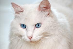 猫の種類 白猫