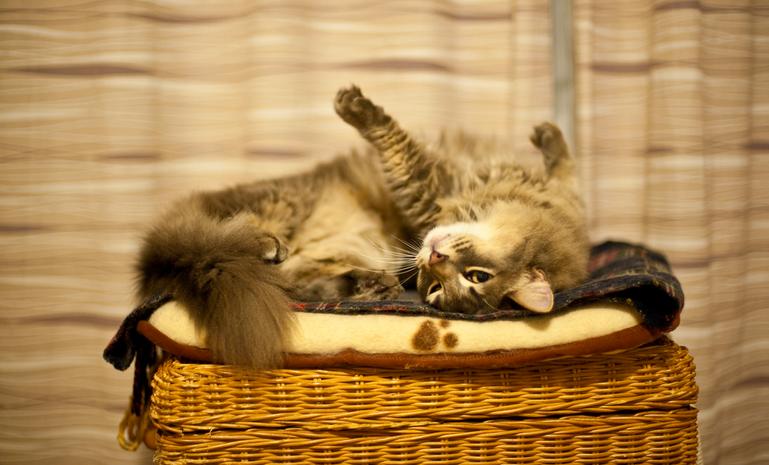 猫画像,マンチカン