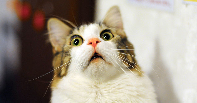 猫の種類まるわかり猫図鑑!