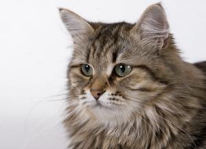 猫の種類 サイベリアン
