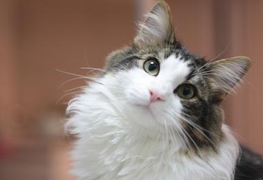 猫の種類 ノルウェージャン ... : 動物 イラスト 白黒 : イラスト