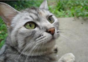 猫の種類 サバトラ