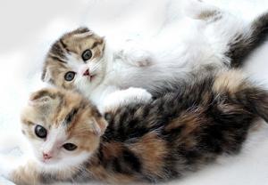 猫の種類 スコティッシュフォールド
