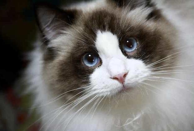 猫の種類 ラグドール