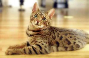 猫の種類 ベンガル