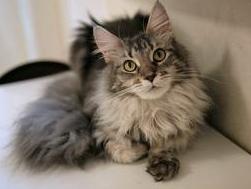 猫の種類 メインクーン