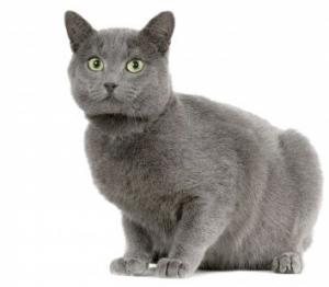 猫の種類 シャルトリュー