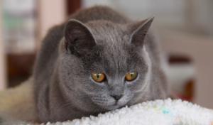 猫の種類 ブリティッシュショートヘア