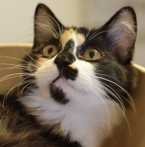 猫の種類 三毛猫