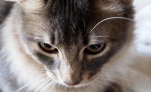 猫画像 マンチカン