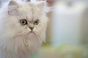 猫の種類 ペルシャ猫