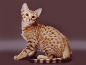 猫の種類 オシキャット
