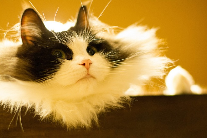よく遊びよく寝る☆ヤバい可愛いラガマフィンの猫画像20選!!