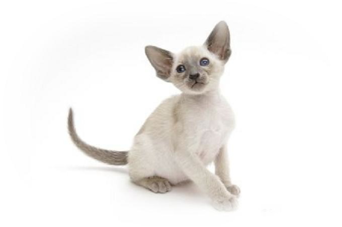 可愛いシャム猫が集まる猫画像☆20選!!