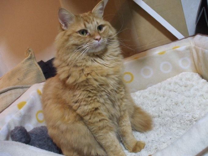 飼い主に従順なサイベリアンが可愛い、猫画像20選!!