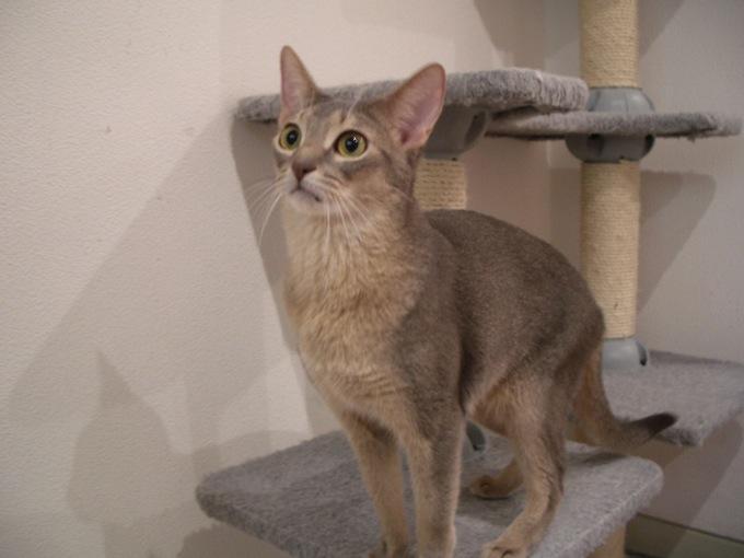 とっても甘えん坊なアビシニアンが可愛い、猫画像20選!!
