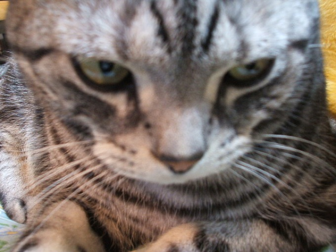 恐ろしくキュートなアメリカンショートヘアーの猫画像20選!!