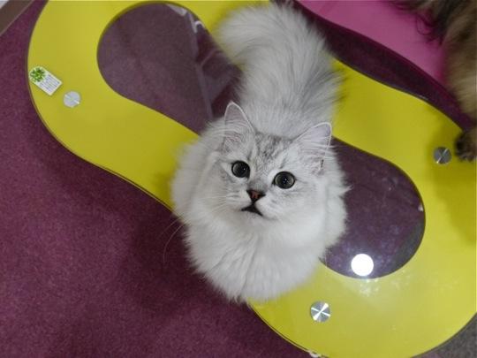 マイペースなチンチラ猫が集まる、猫画像20選!!