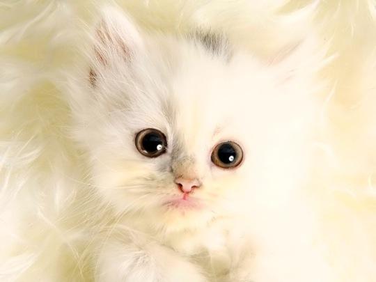 まるで天使のような白猫の猫画像20選!!