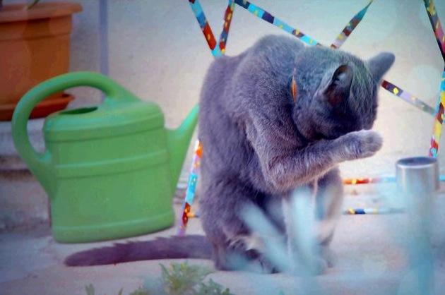 賢可愛いシャルトリューが集まる、猫画像20選!!