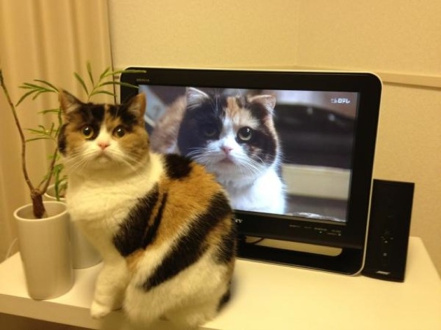 今日はとってもかわいい元祖日本猫!?三毛猫の猫画像を20選ご紹介!!かわいくて、とっても癒される♪猫の画像をとくとご覧ください!!