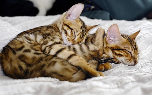 俺たち感情表現豊かなベンガル猫が集まる、猫画像20選!!