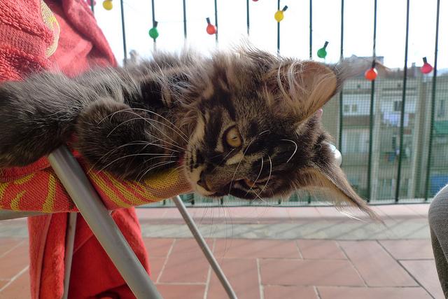もふっとしたくなる☆メインクーンの猫画像22選!