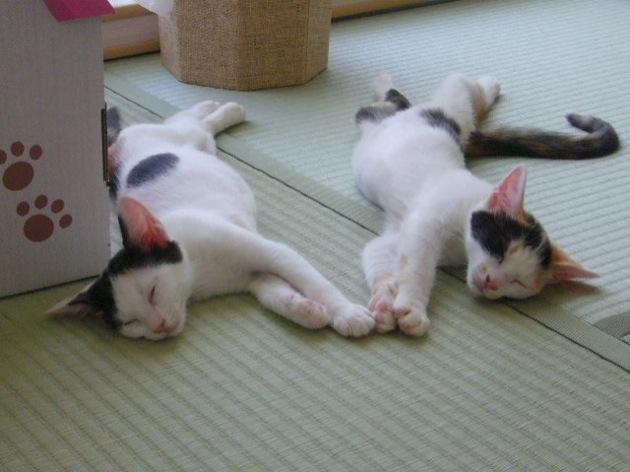 うにゃ♪っと可愛い三毛猫が集まる、猫画像20選!!