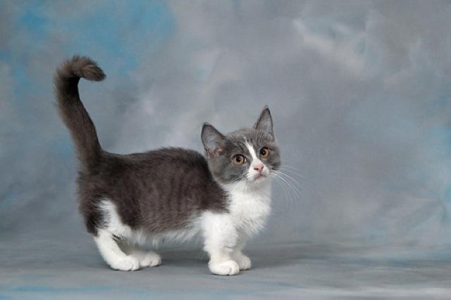 猫画像22選☆マンチカンって猫、可愛くないですか?