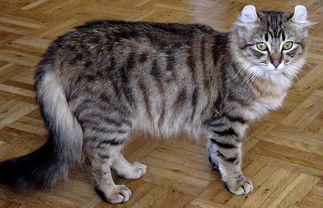 遊ぶの大好き☆キュートなアメリカンカールの猫画像20選!!