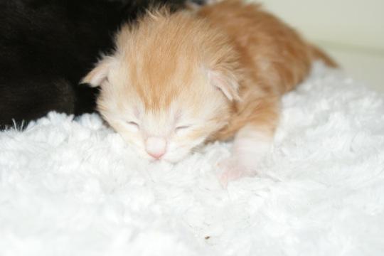 寂しがりやなノルウェージャンフォレストキャットの猫画像20選☆