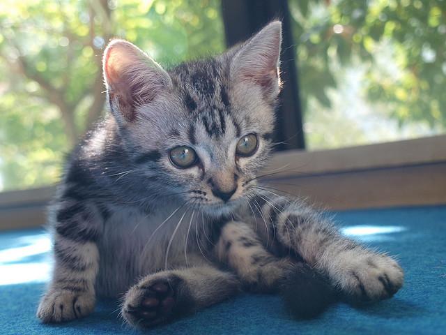 アメリカンショートヘアが可愛い☆キュートな猫画像22選!!