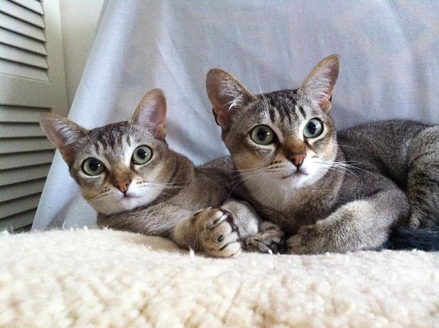 不思議な魅力のシンガプーラが可愛い☆猫画像22選!!