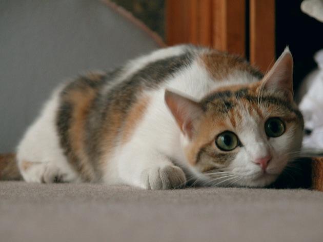 三毛猫の画像 p1_33