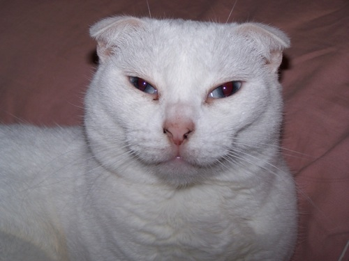 俺たち甘えん坊♪スコティッシュフォールドの猫画像20選!!