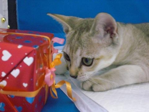 俺たちシャイで甘えん坊☆シンガプーラの猫画像20選!!