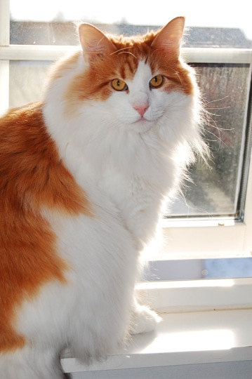 寂しがりやなノルウェージャンフォレストキャットの猫画像20選