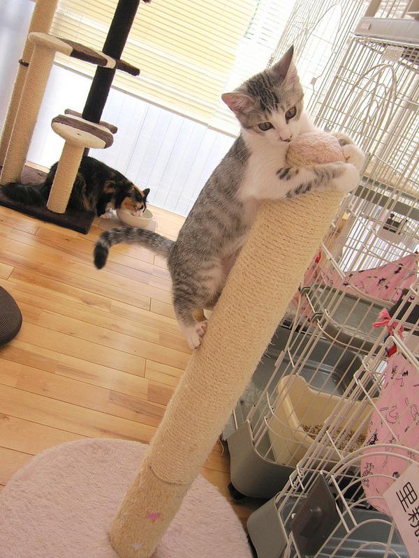猫カフェで遊び回る、いたずら猫画像♪