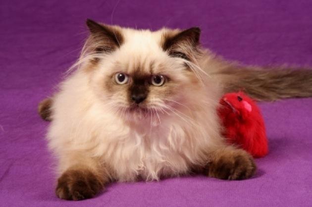 もっふもふで人懐っこい、ペルシャ猫の猫画像22選!!