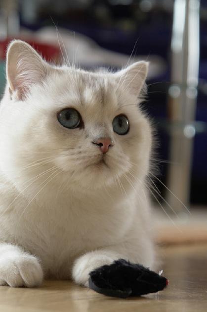 穏やかでのんびりやさんな、ブリティッシュショートヘアの猫画像22選!!