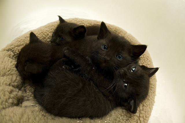 黒猫の赤ちゃんがたくさん
